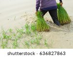 farmer working on ricefield... | Shutterstock . vector #636827863