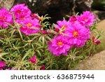 Pink Vygies In A Garden