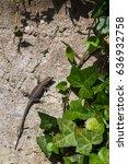 a lizard seen basking in the... | Shutterstock . vector #636932758