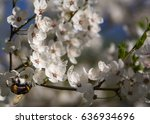 cherry tree bloom. | Shutterstock . vector #636934696