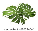 Two Tropical Jungle Monstera...