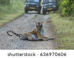 Tiger on road