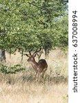 Small photo of Black faced impala, (aepyceros melampus petersi), etosha national park, namibia