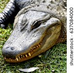 Small photo of American Alligator