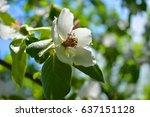 blooming apple tree in spring... | Shutterstock . vector #637151128