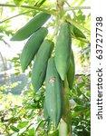 green papayas on tree - stock photo