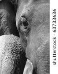 animal elephant face black and white - stock photo