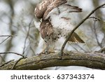 A Young Red Tailed Hawk Perche...