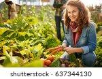friendly team harvesting fresh...   Shutterstock . vector #637344130