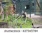 Lemurs Climbing On Branches At...