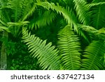 green leaves of the fern... | Shutterstock . vector #637427134