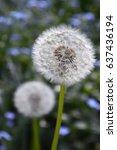 fluff of dandelion | Shutterstock . vector #637436194