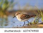 little stint  calidris minuta... | Shutterstock . vector #637474900