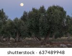 The Full Moon Between Olive...
