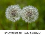 Two White Detailed Dandelions...