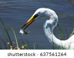great egret with a snack | Shutterstock . vector #637561264