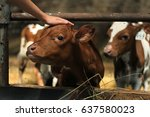 calf in the cowshe. pat the cow | Shutterstock . vector #637580023