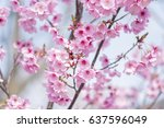 pink cherry blossom in japan... | Shutterstock . vector #637596049