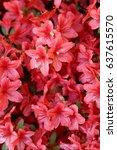 royal azalea | Shutterstock . vector #637615570