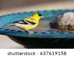 Male American Goldfinch  Spinu...