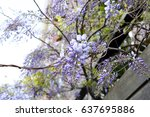 Wisteria On A Wooden Fence.