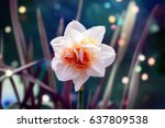 White Narcissus Flower...