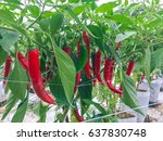 Modern Chili Pepper Farm With...
