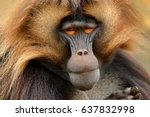 gelada baboon with open muzzle... | Shutterstock . vector #637832998