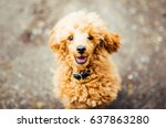 brown cute poodle puppy sitting ... | Shutterstock . vector #637863280