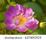 roseraie saint galmier in loire ...   Shutterstock . vector #637892929