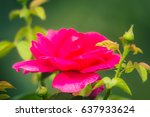 pink and white roses background ... | Shutterstock . vector #637933624