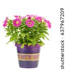 pink petunia flower in pot on a ...   Shutterstock . vector #637967209