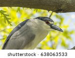 black crowned night heron detail | Shutterstock . vector #638063533
