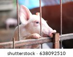 Cute Piglet Are Climbing In Th...