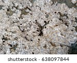 Small photo of Marine texture: nice close up of rock covered with small acorn barnacles.