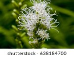 Small photo of Liatris, also known as snake root or gayfeather has a showy feathery flower.