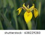 Flower Of Yellow Iris  Iris...