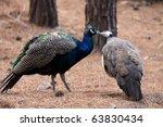 Kissing Birds Peacocks. Love...