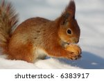 Red squirell with nut in her hands on the snow - stock photo