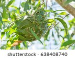 Green Ants Nest In A Tree