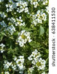 Small photo of First spring small white flowers primroses Alyssum and Lobularia