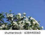 Oleander Flowers With Blue Sky...