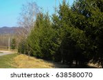 Small photo of fence of pine trees. trees in a row. Christmas tree. road in the mountains, The Pinophyta, also known as Coniferophyta or Coniferae, or commonly as conifers, are a division of vascular land plants con