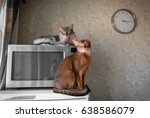 two cats somali and abyssinian... | Shutterstock . vector #638586079