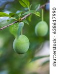 branch with green plums in a... | Shutterstock . vector #638617990