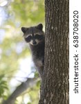 Small photo of Racoon carnivore mammal in the wild Procyon lotor