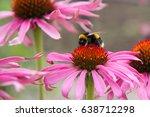 Purple Coneflower  Echinacea...