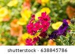Fuchsia Colored Verbena Flower...
