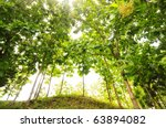 Teak  forest with tall trees on top of a hill and the sun shining through. - stock photo