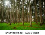 Pine forest with tall trees and the sun shining through in the background - stock photo